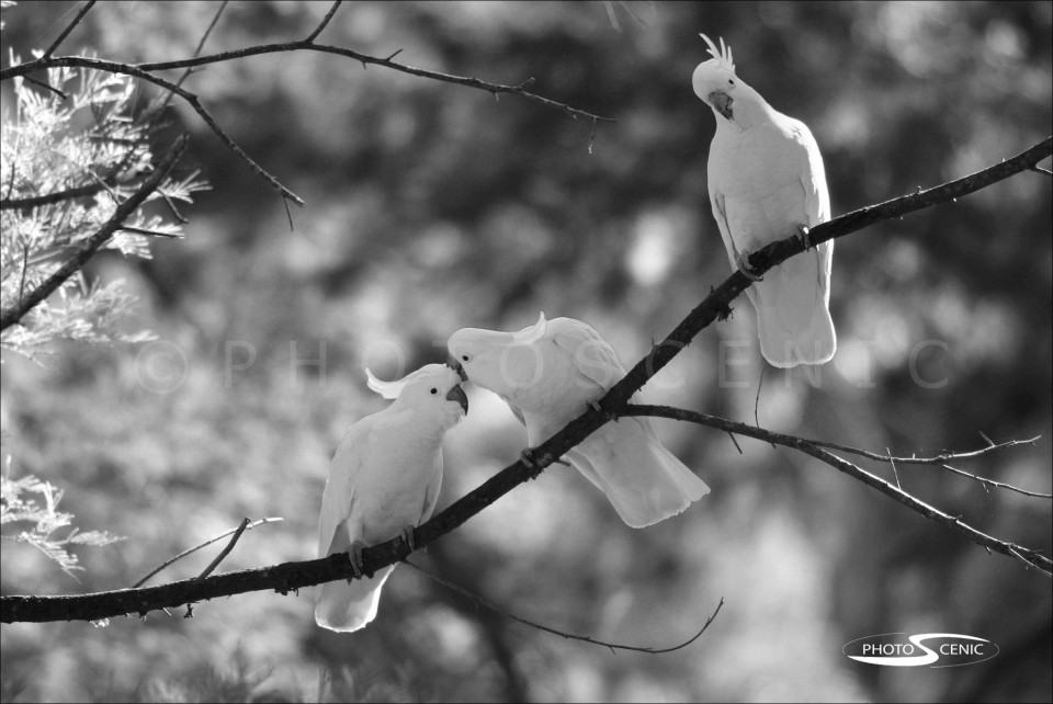 Cockatoo_black_and_white_photos_003.jpg