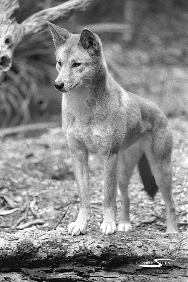 Dingo_black_and_white_photos_001.jpg