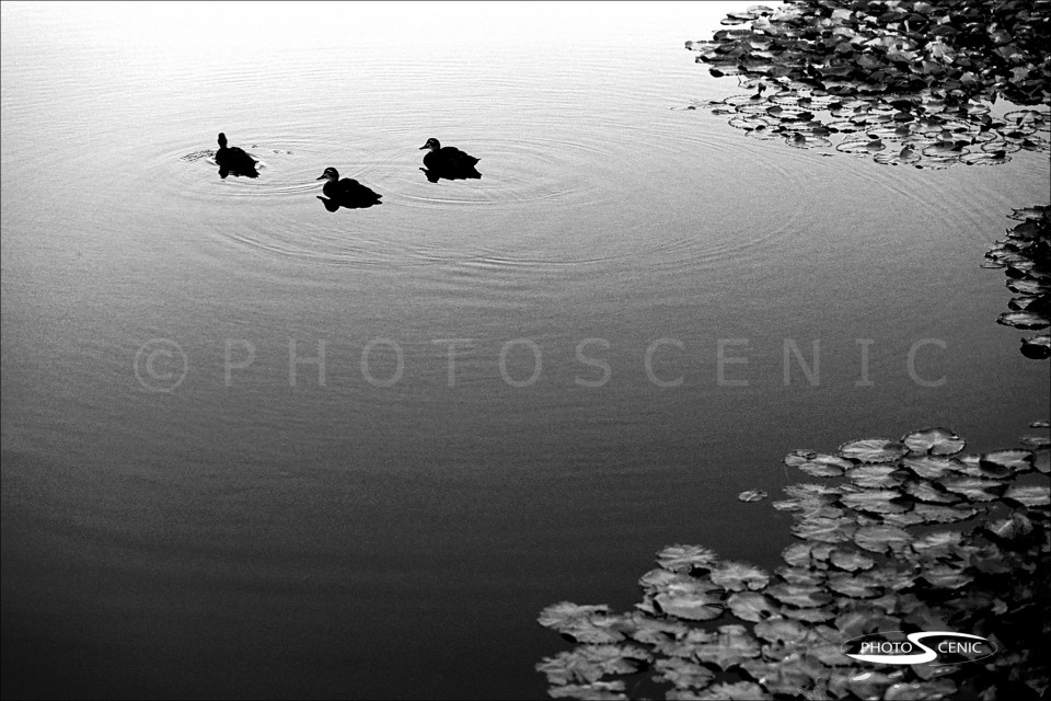 Ducks_black_and_white_photos_001.jpg
