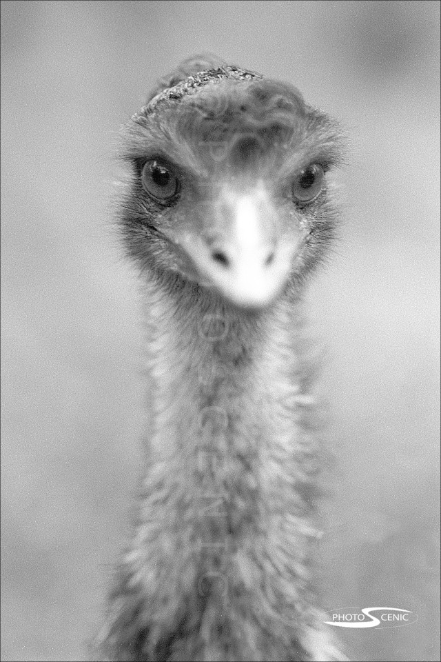Emu_black_and_white_photos_001.jpg