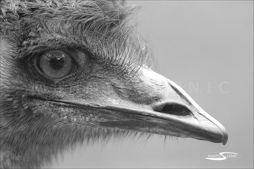 Emu_black_and_white_photos_002.jpg