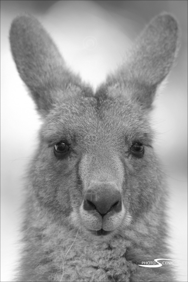 Kangaroo_black_and_white_photos_012.jpg