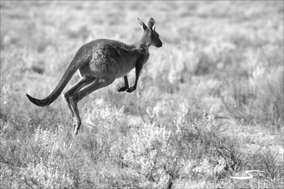Kangaroo_black_and_white_photos_017.jpg