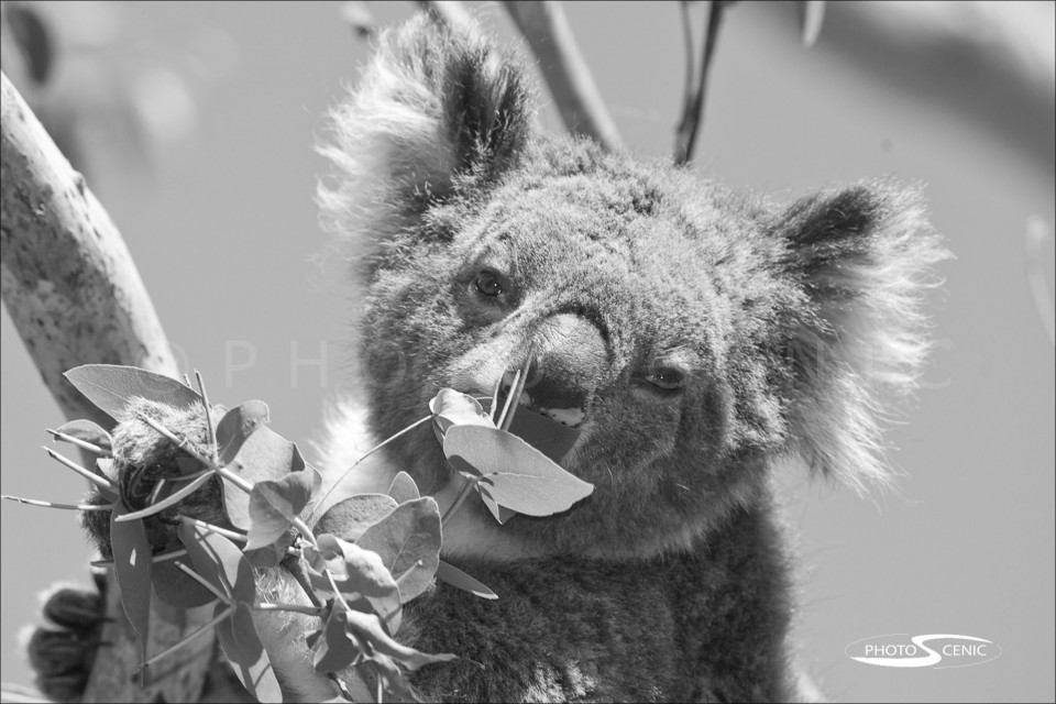 Koala_black_and_white_photos_004.jpg