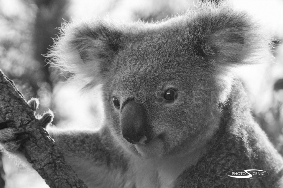 Koala_black_and_white_photos_007.jpg
