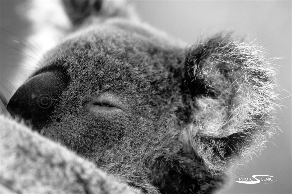 Koala_black_and_white_photos_009.jpg