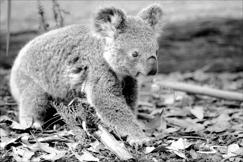 Koala_black_and_white_photos_010.jpg