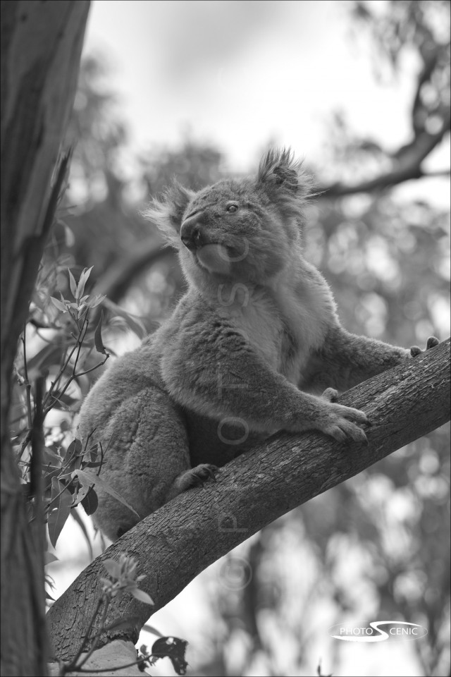Koala_black_and_white_photos_012.jpg