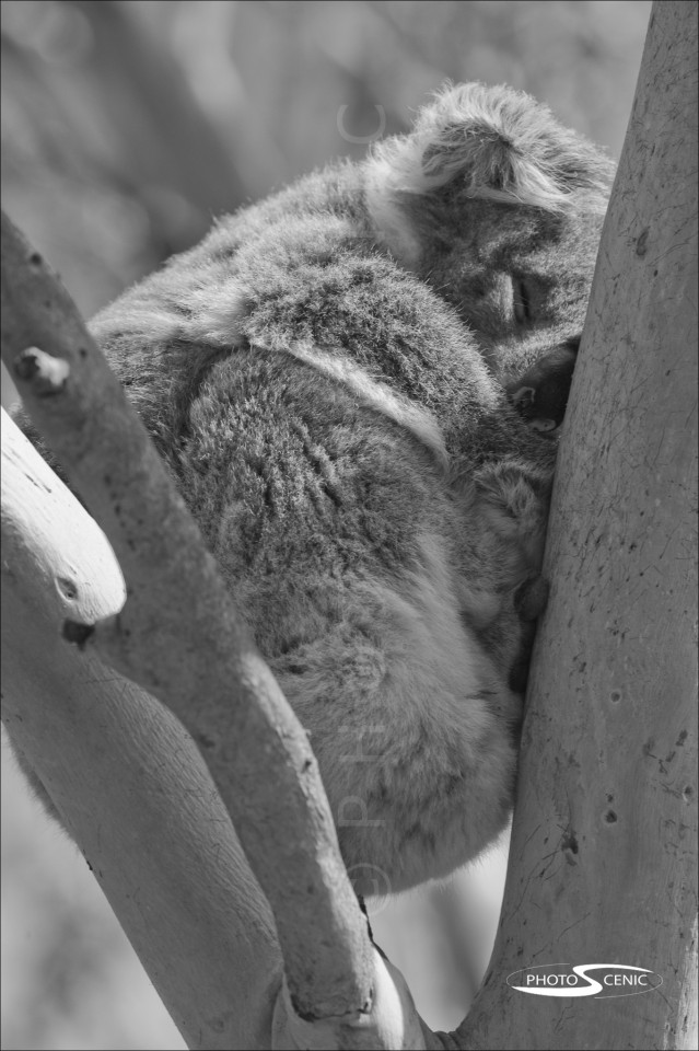 Koala_black_and_white_photos_013.jpg