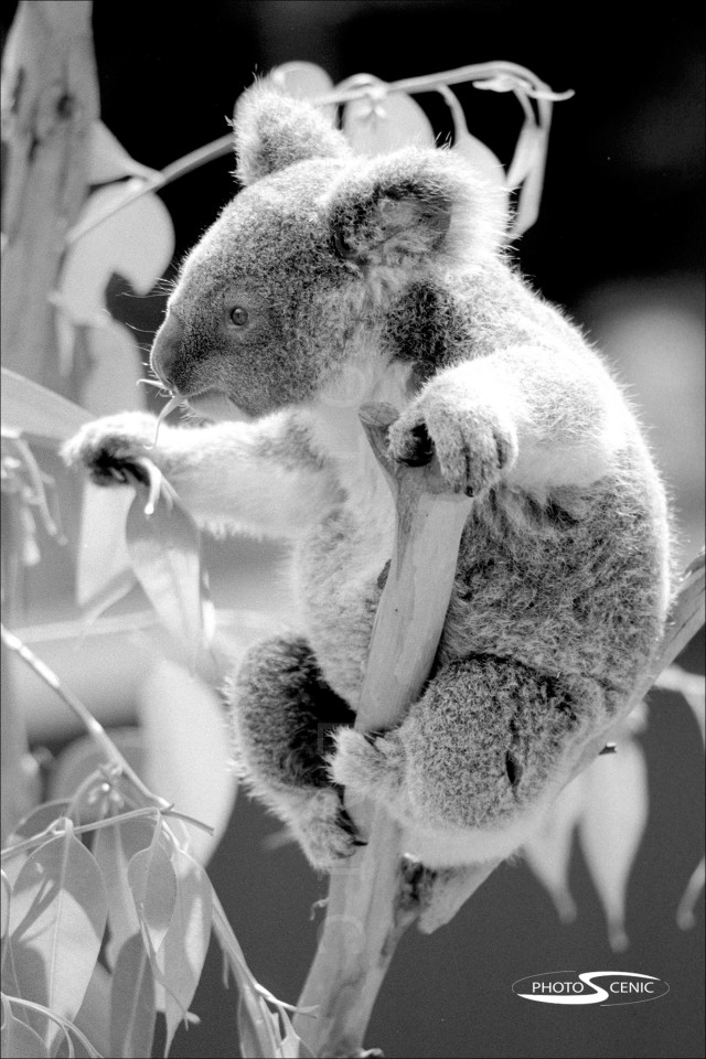 Koala_black_and_white_photos_017.jpg
