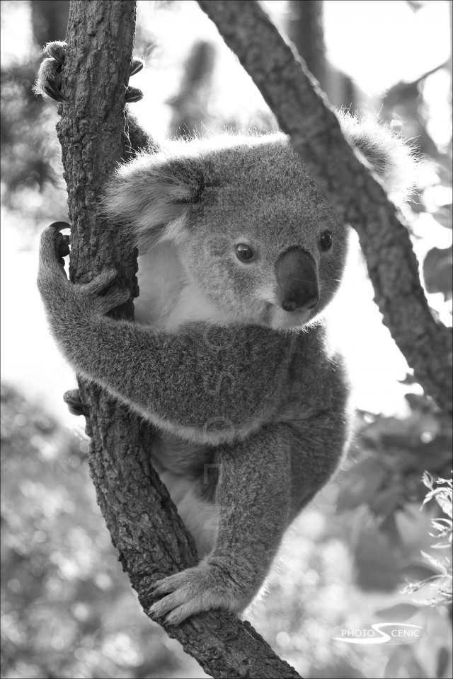 Koala_black_and_white_photos_020.jpg