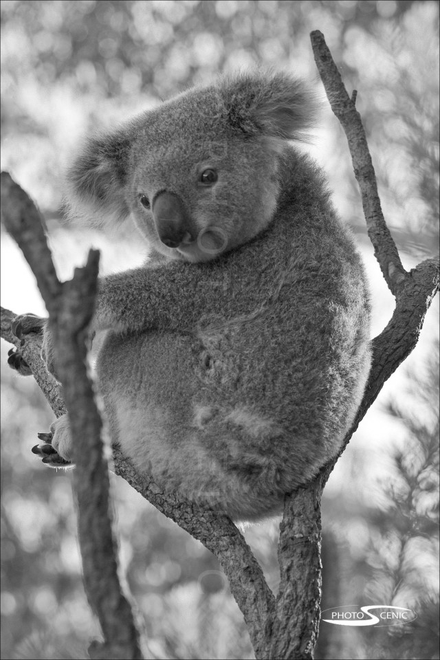 Koala_black_and_white_photos_021.jpg