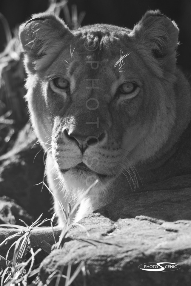 Lion_black_and_white_photos_001.jpg