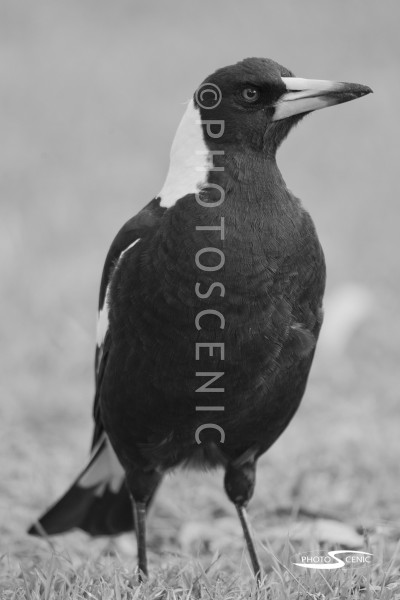 Magpie_black_and_white_photos_001.jpg