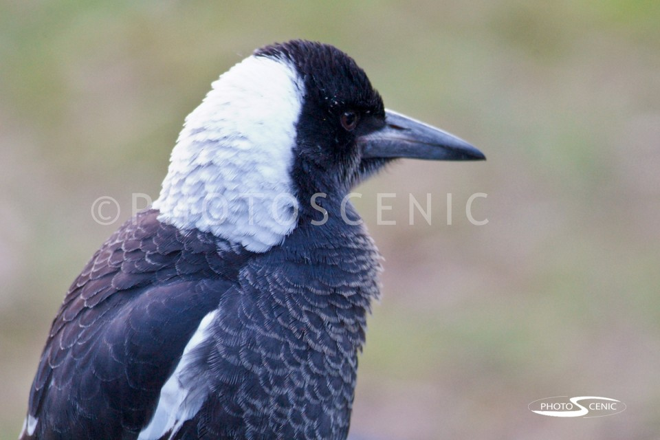Magpie_Colour_photos_003.jpg
