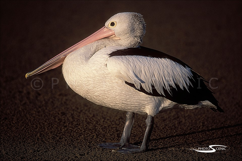 Pelican_Colour_photos_002.jpg