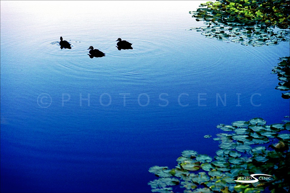 Three_Ducks_in_a_pond_048.jpg