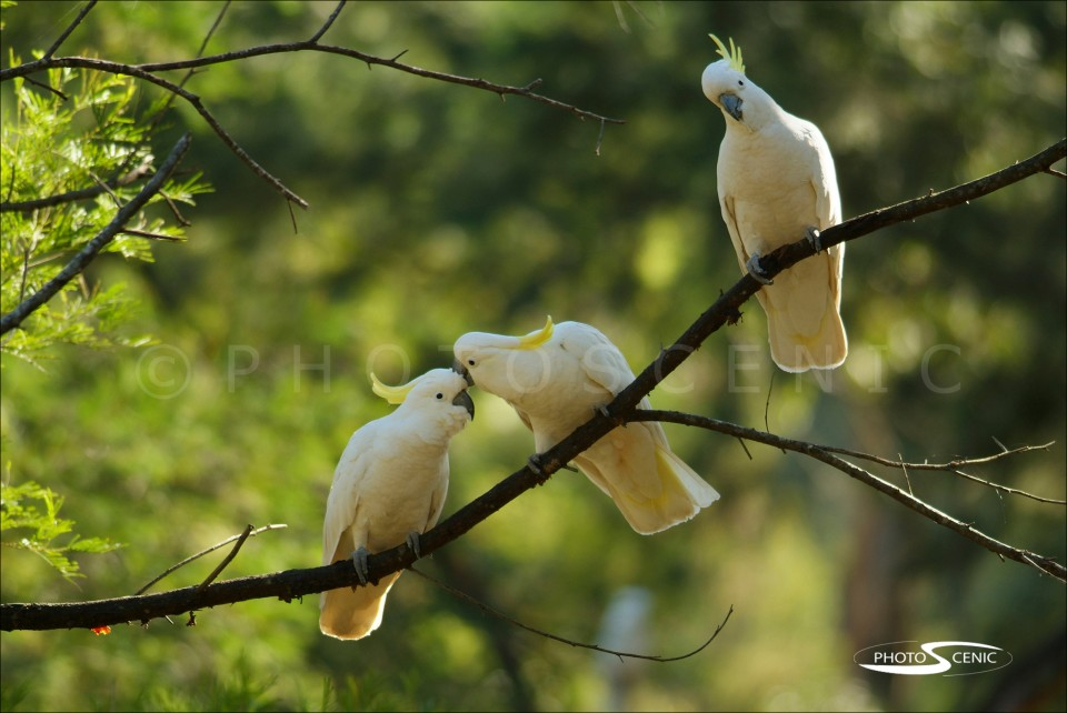 White_Cockatoo_040.jpg