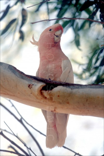 Pink_Cockatoo_031.jpg