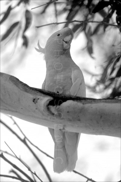 Cockatoo_black_and_white_photos_001.jpg