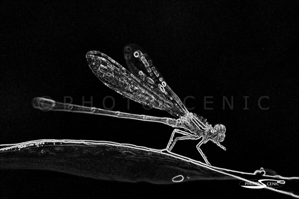 Dragon_Fly_black_and_white_photos_002.jpg