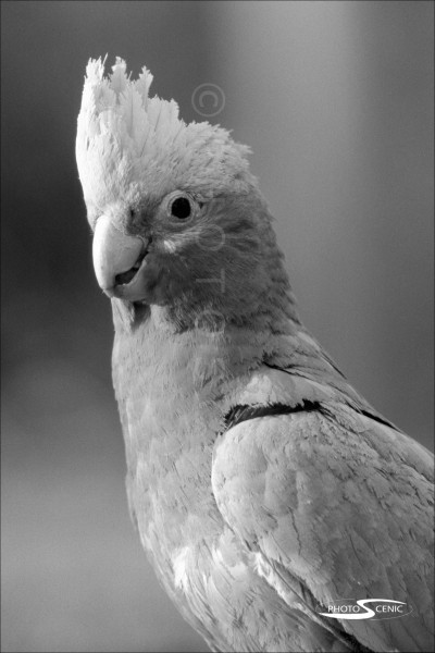 Galah_black_and_white_photos_001.jpg