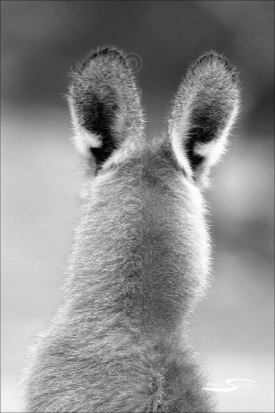 Kangaroo_black_and_white_photos_002.jpg