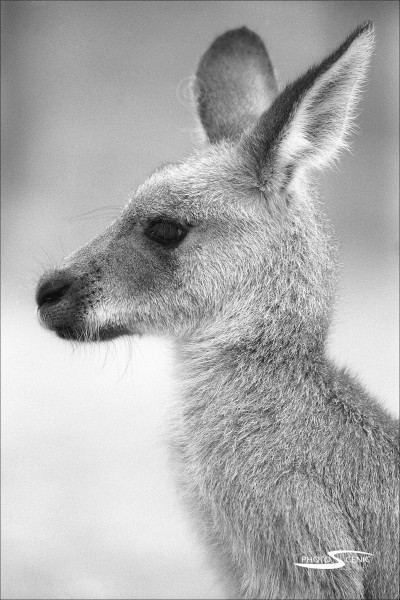 Kangaroo_black_and_white_photos_003.jpg