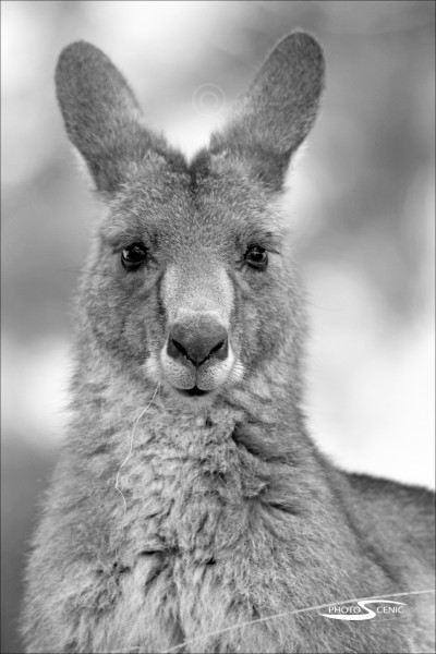 Kangaroo_black_and_white_photos_004.jpg