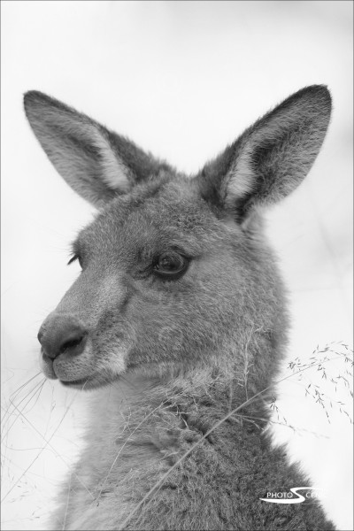Kangaroo_black_and_white_photos_007.jpg