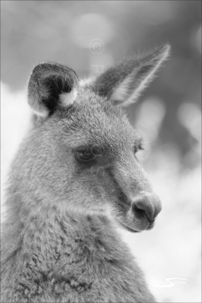 Kangaroo_black_and_white_photos_008.jpg