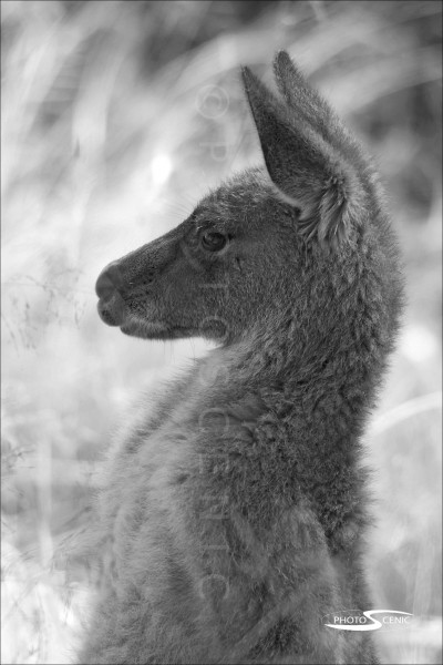 Kangaroo_black_and_white_photos_010.jpg
