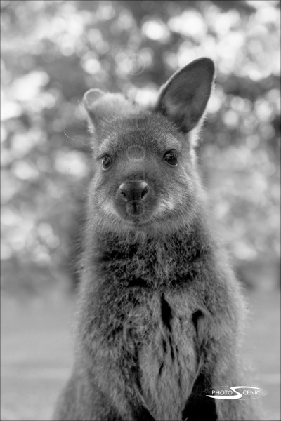 Kangaroo_black_and_white_photos_013.jpg