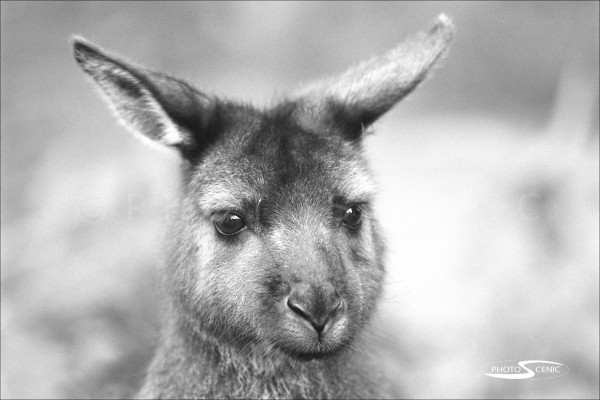 Kangaroo_black_and_white_photos_015.jpg