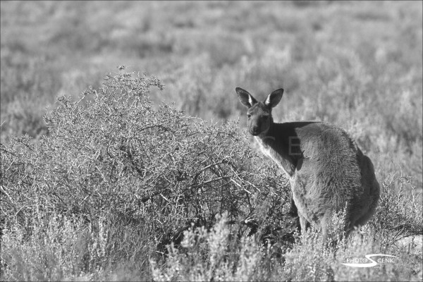 Kangaroo_black_and_white_photos_016.jpg
