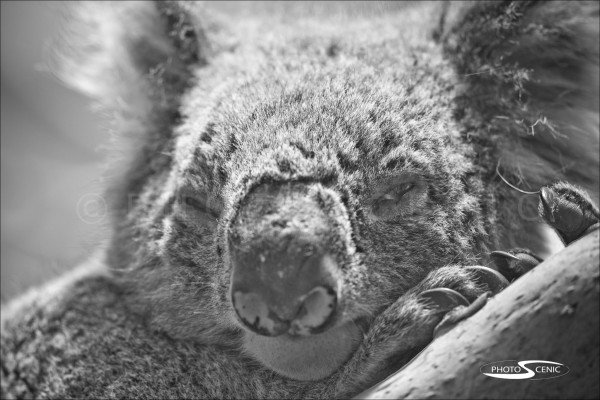 Koala_black_and_white_photos_003.jpg
