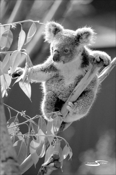 Koala_black_and_white_photos_018.jpg