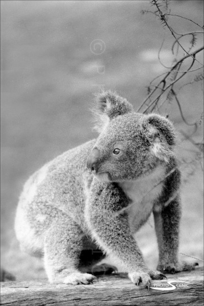 Koala_black_and_white_photos_019.jpg