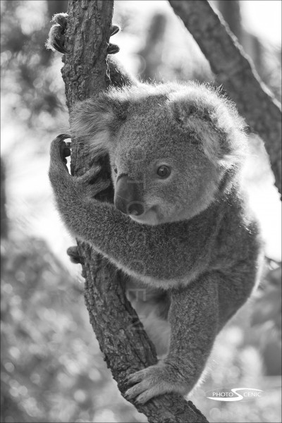 Koala_black_and_white_photos_022.jpg
