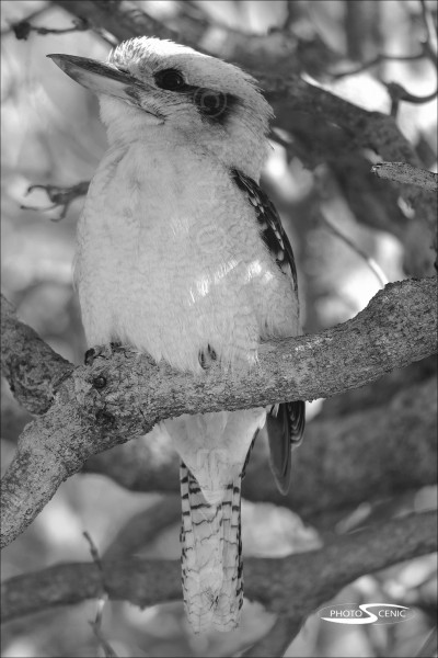 Kookaburra_black_and_white_photos_001.jpg